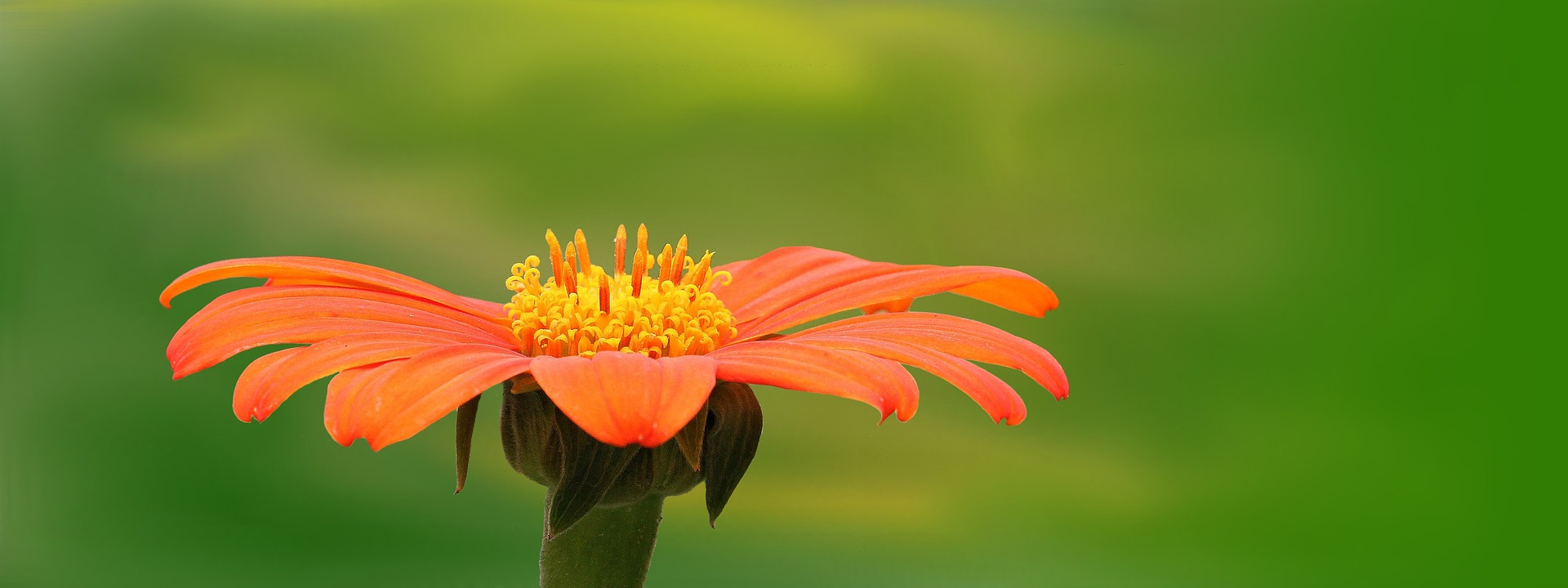 gelbe-orange Blume
