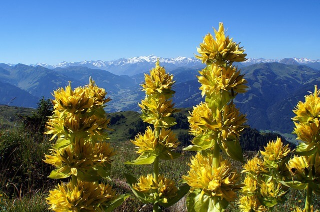 Gelber Enzian Heilpflanze Seele